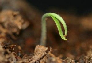 tomato-seedling